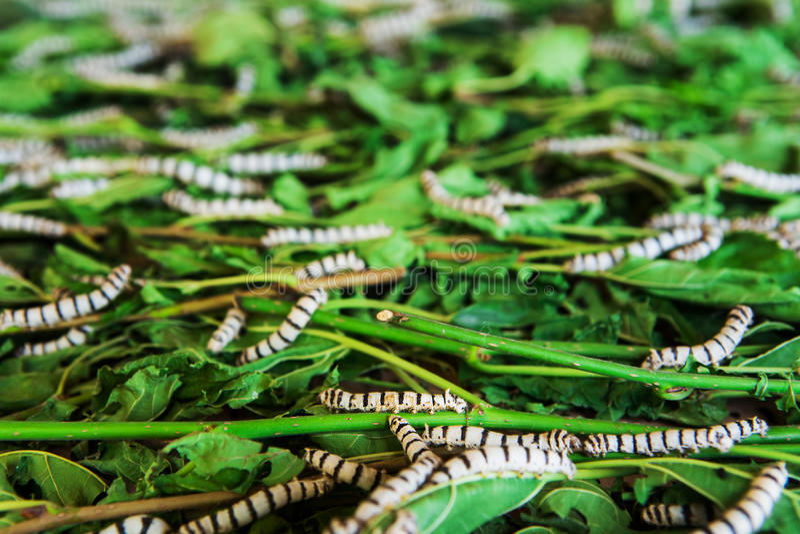 Шелкопряды есть лист шелковицы стоковое фото