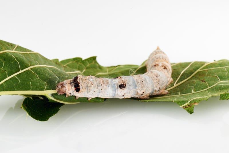 Шелкопряды на листьях шелковицы стоковое фото rf