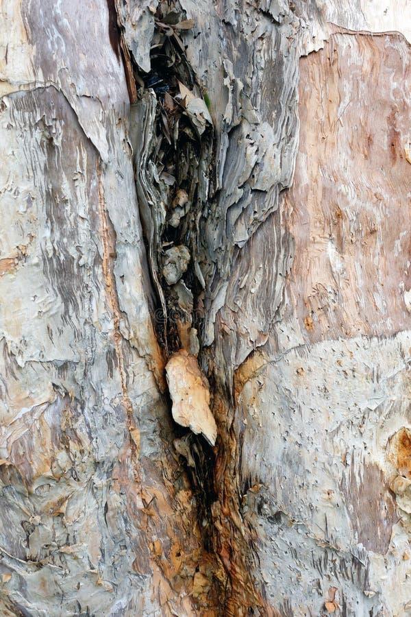 Шелушась расшива в вилке дерева стоковое изображение rf