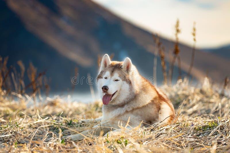Шикарная и свободная сибирская сиплая собака лежа на холме на предпосылке моря объявления гор стоковое изображение rf