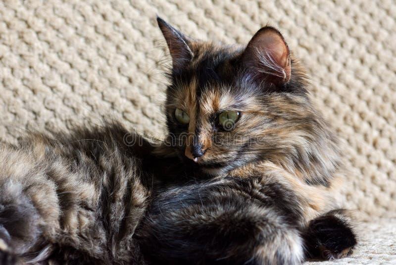 Шикарные 3 покрашенный кот Кот с желтыми глазами стоковое изображение
