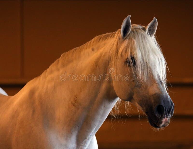 Шикарный белый андалузский испанский жеребец, изумительная аравийская лошадь стоковое фото rf
