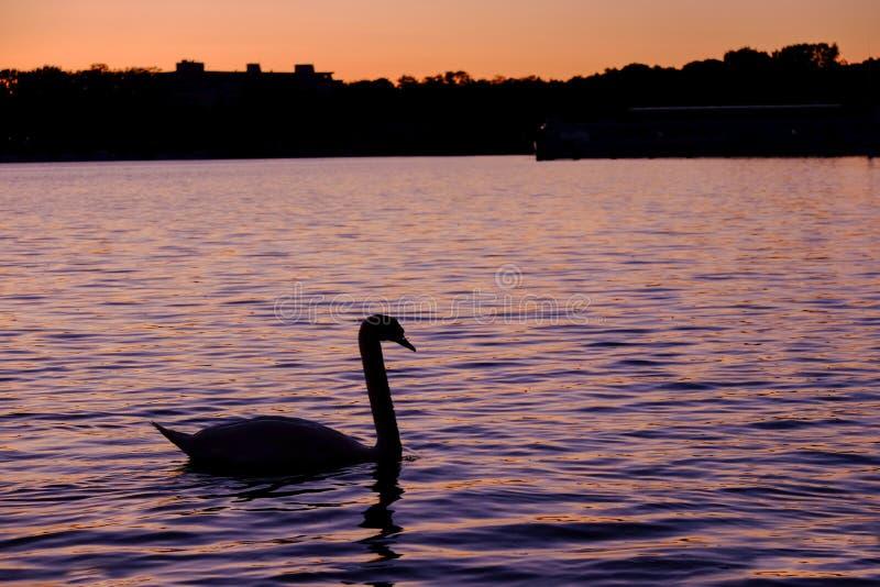 Шикарный белый лебедь на озере на заходе солнца стоковые изображения rf