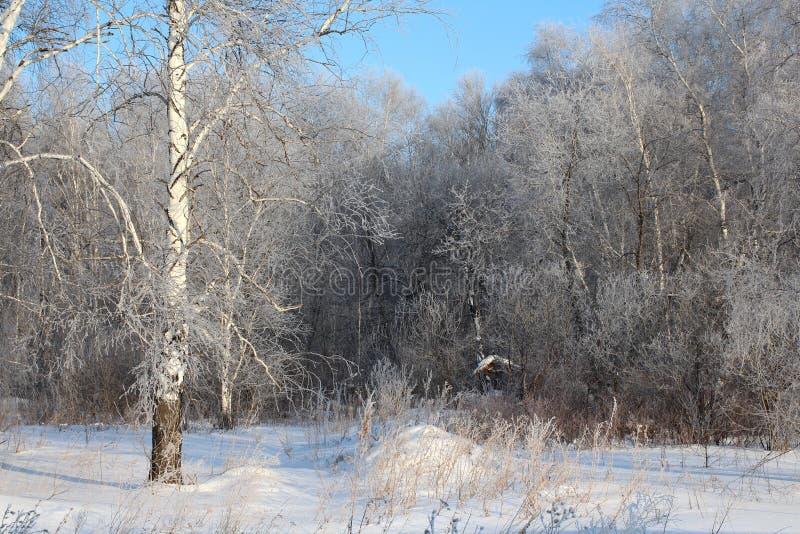 Шикарный ландшафт сибирского леса зимы с деревьями березы в снеге среди белых смещений стоковое изображение