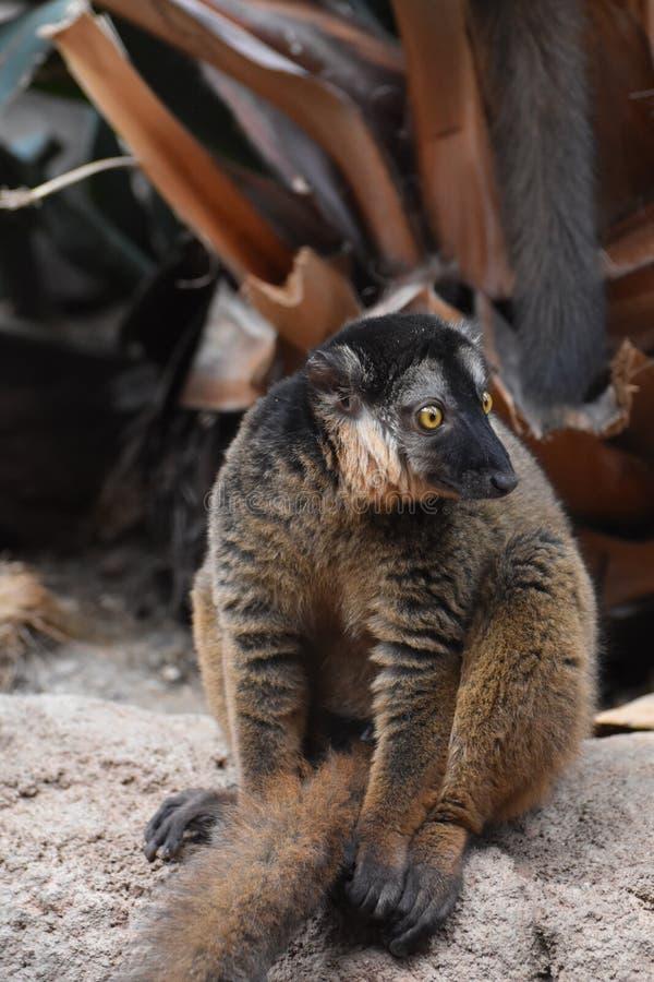 Шикарный лемур Collared Брайном живя в природе стоковое изображение