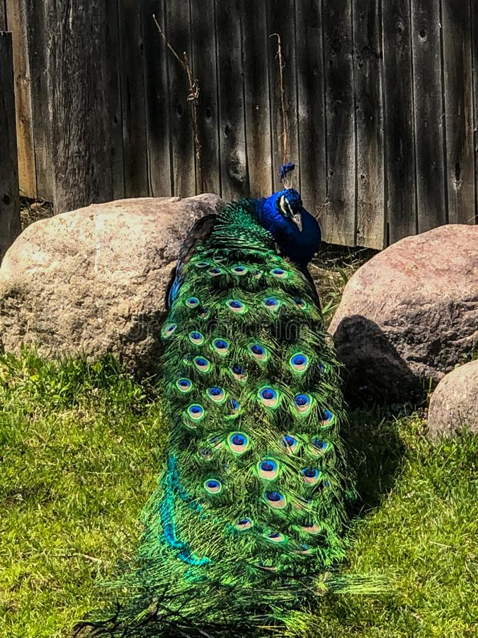 Шикарный мужской павлин показывая его покрашенные пер стоковое изображение rf