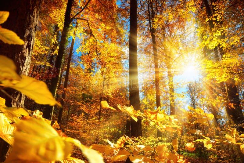 Шикарный солнечный свет осени в лесе стоковое фото