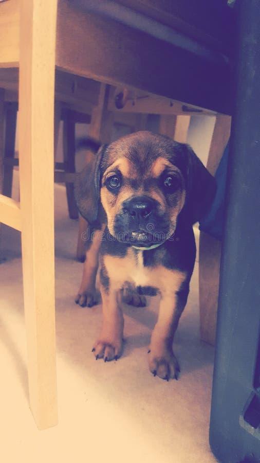 Шикарный щенок! ðŸ'™ стоковые фото