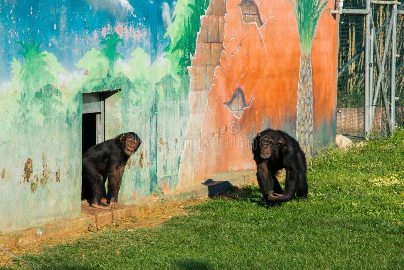 шимпанзеы стоковые фотографии rf