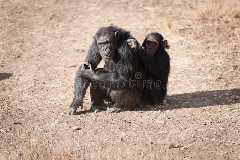 шимпанзеы стоковое фото rf