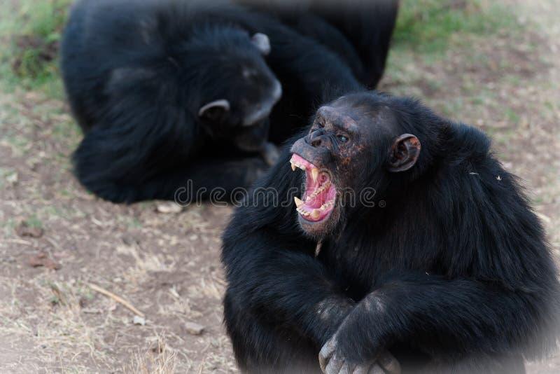 шимпанзеы стоковое изображение rf