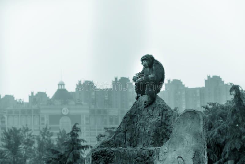 шимпанзе вверху rockery, невиновный наблюдает стоковые изображения