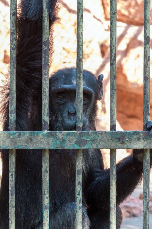 Шимпанзе в клетке стоковые фотографии rf