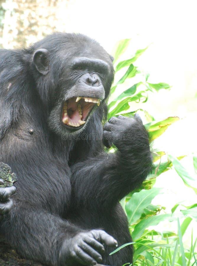Шимпанзе говоря Ahhhh для доктора стоковые изображения