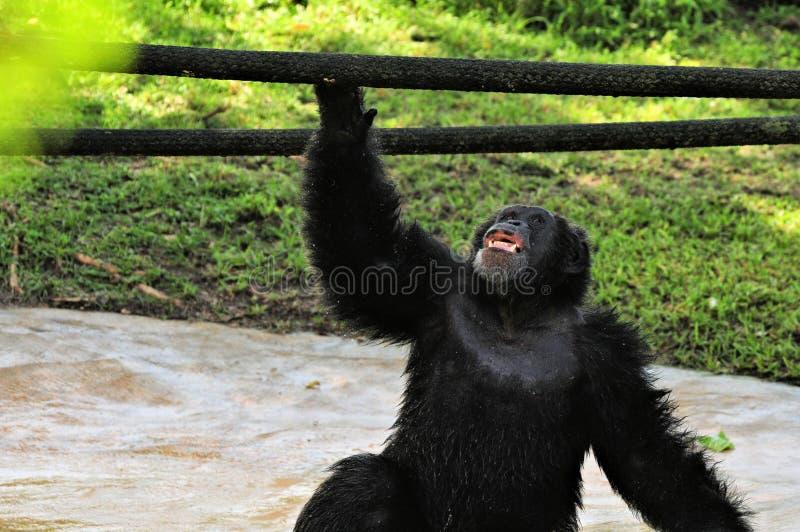 Смотреть рта шимпанзеа открытый вверх стоковое изображение rf