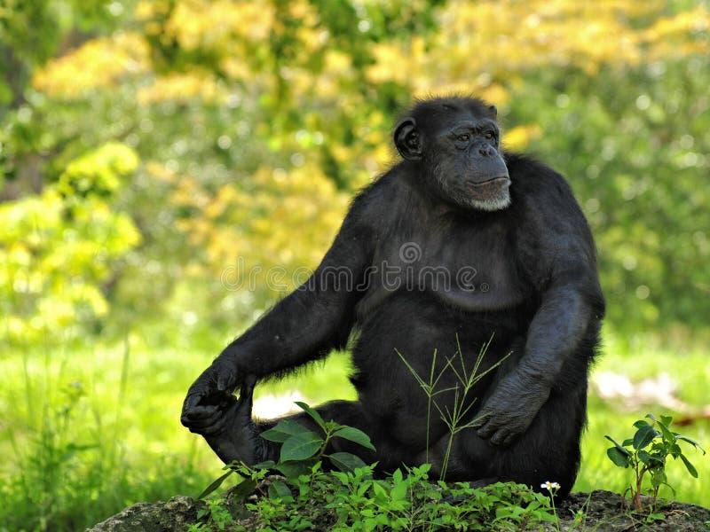 Шимпанзе смотря прочь стоковая фотография rf
