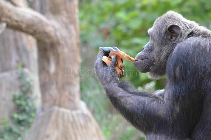 Шимпанзе ест хлеб 2 стоковое изображение rf