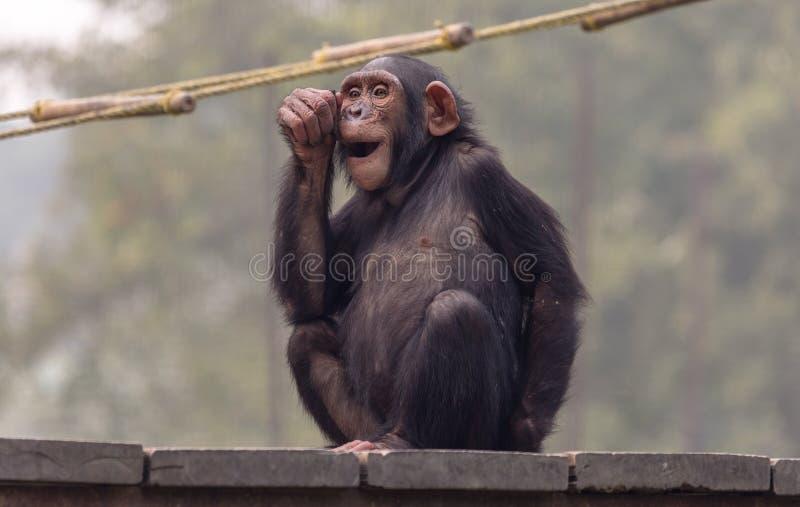 Шимпанзе делает выражение лица пока сидящ на деревянной планке стоковые изображения