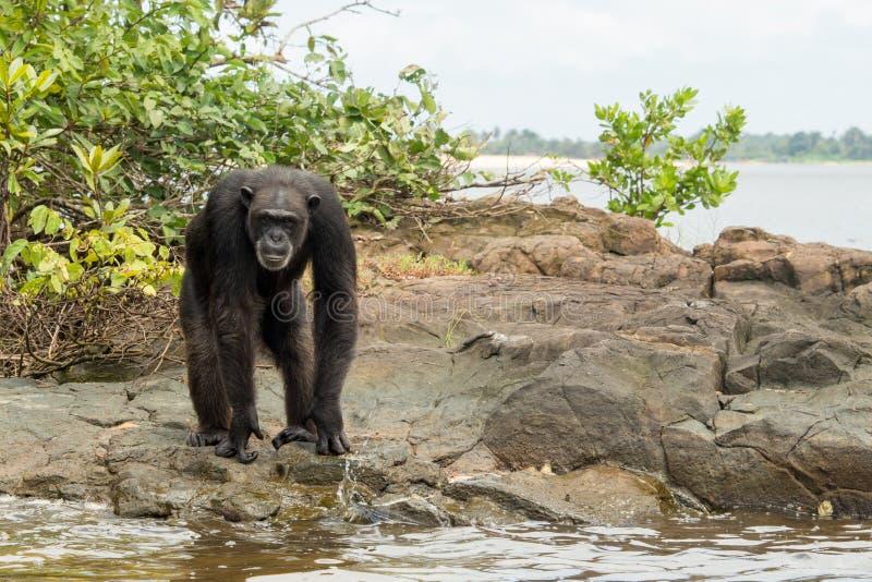 Шимпанзе на крае вод стоковое фото