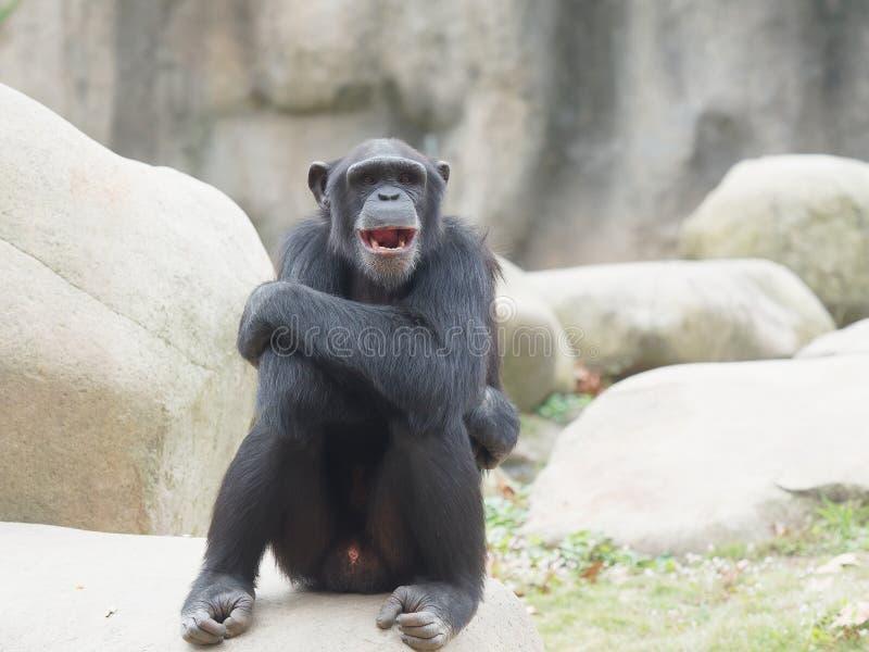 Шимпанзе представляя с пересеченными оружиями и рот открытый широко стоковое фото rf