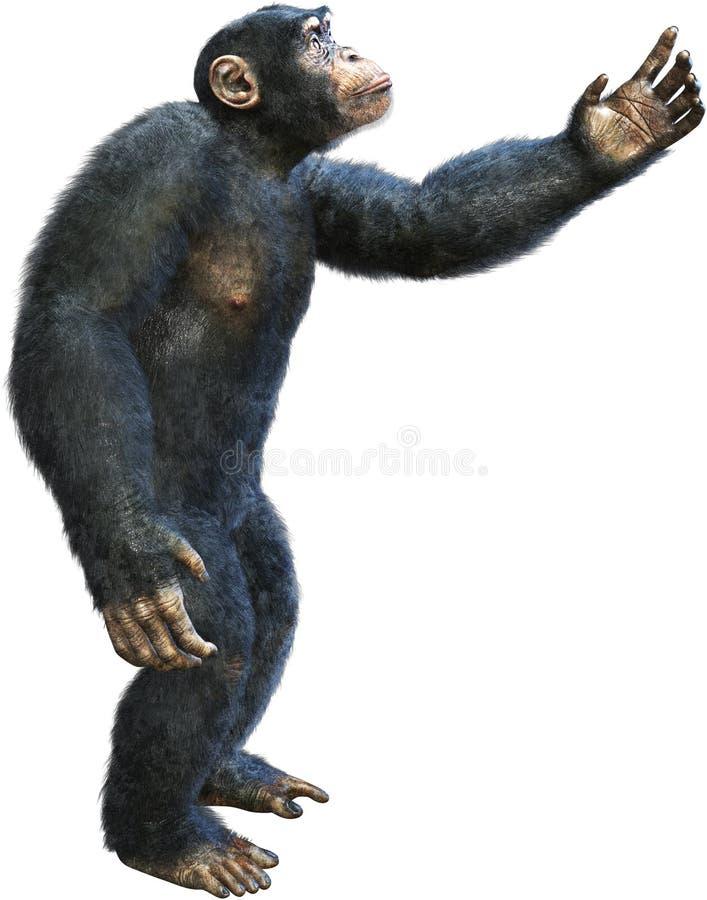 Шимпанзе, шимпанзе, примат, обезьяна, изолировало, достигающ иллюстрация штока