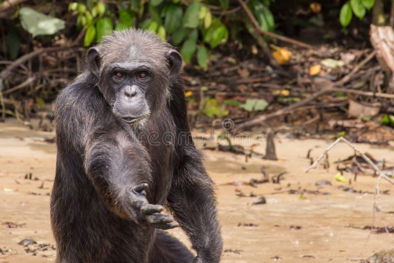 Шимпанзе прося еда стоковые изображения rf