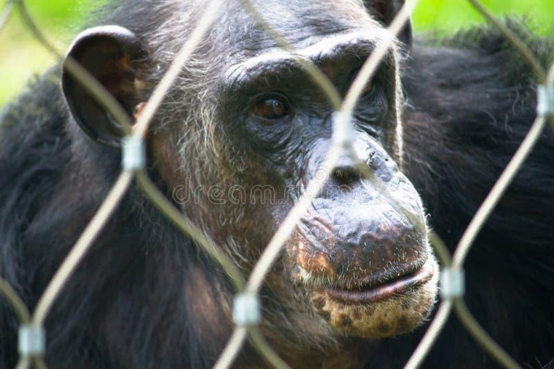 Шимпанзе самостоятельно смотрит на портрет за решеткой защиты следующей или бары в парке зоопарка, по-видимому в грустном задумчи стоковые изображения rf