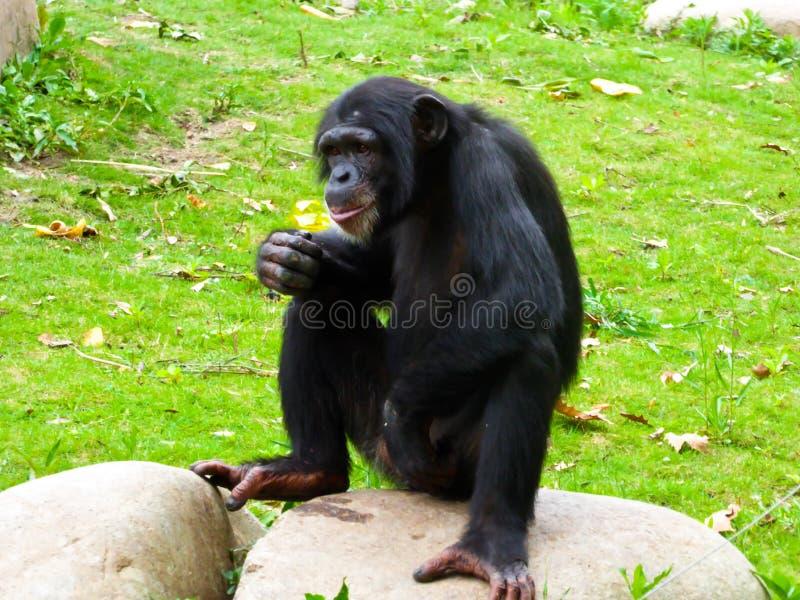 Шимпанзе сидя на утесе стоковое фото