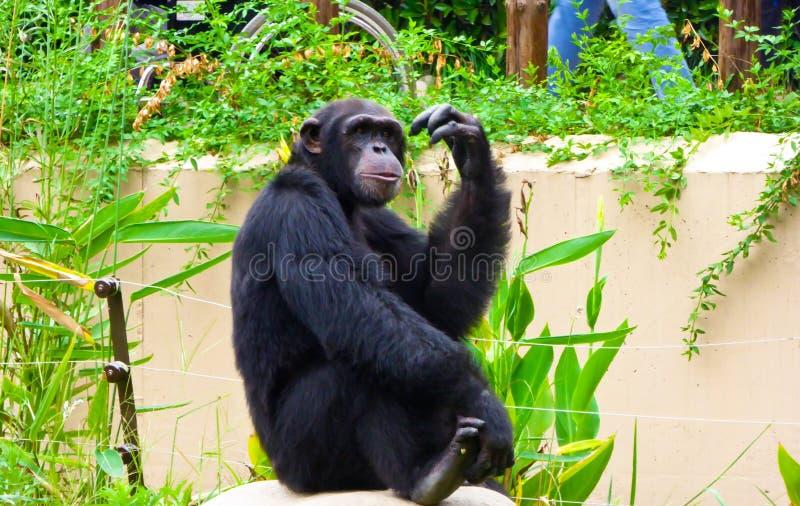 Шимпанзе сидя на утесе стоковое изображение