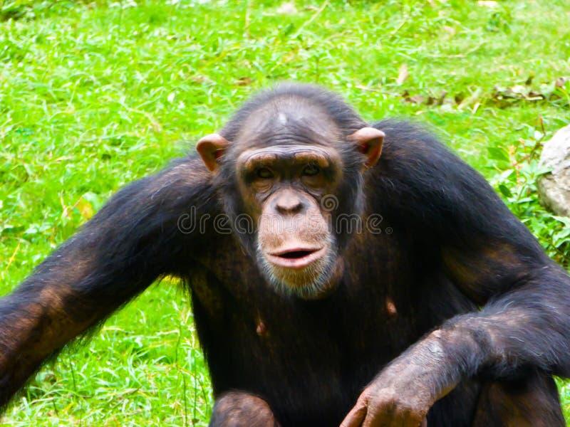 Шимпанзе сидя на groud стоковые изображения rf