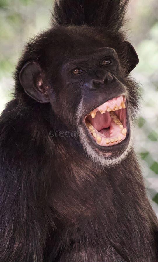Шимпанзе с ртом открытым стоковое фото rf