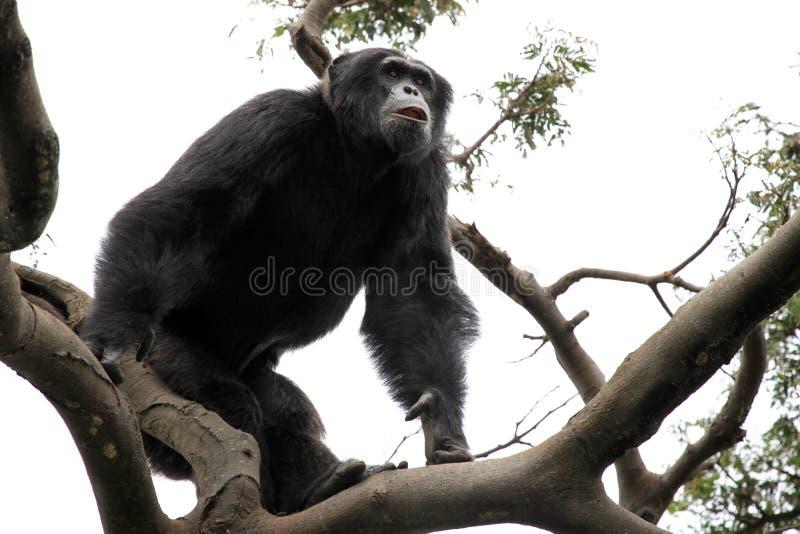 шимпанзе Уганда стоковое фото rf