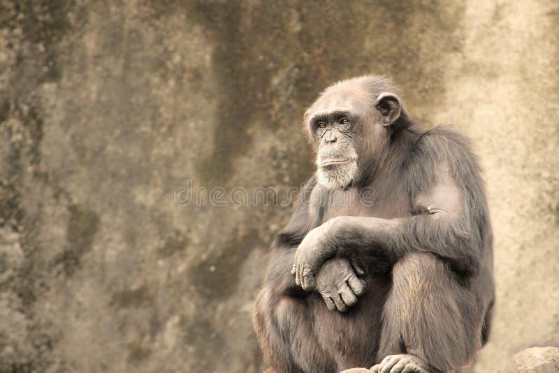 шимпанзе унылый стоковые фотографии rf