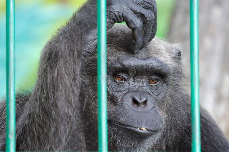 шимпанзе унылый стоковое фото