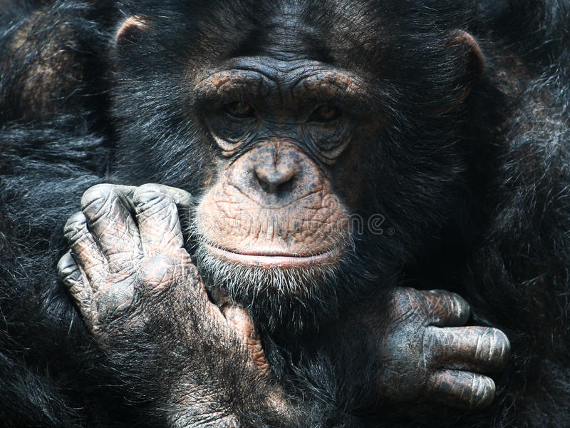 шимпанзе стоковое изображение