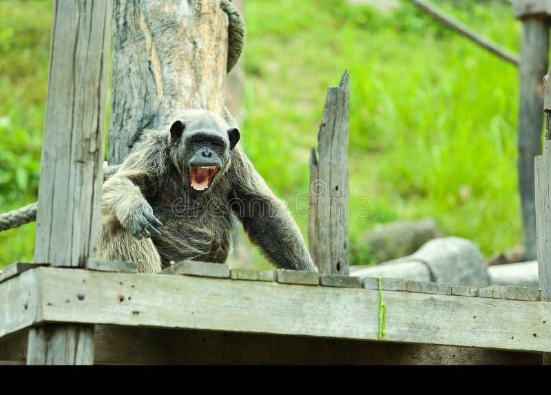 Шимпанзе. стоковое изображение rf