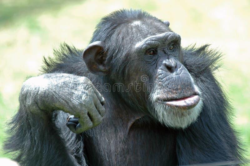 шимпанзе стоковые изображения