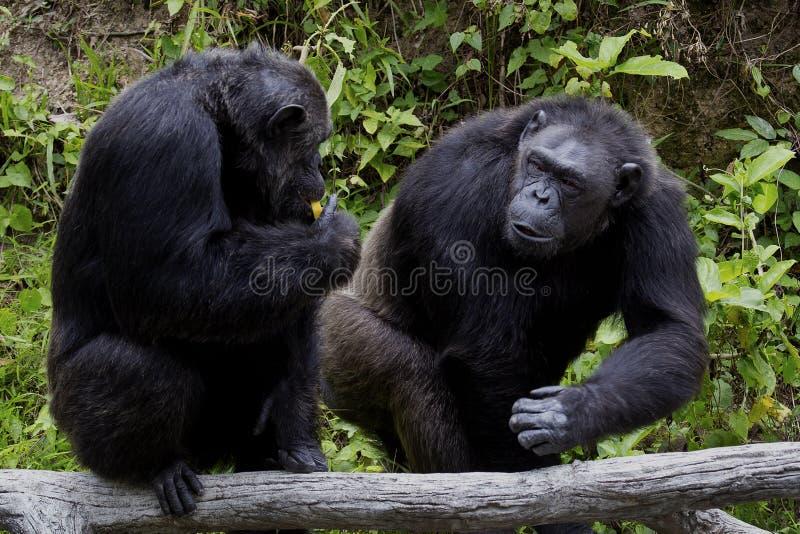 шимпанзе 2 стоковая фотография rf