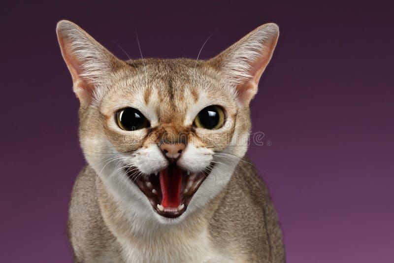 Шипения кота Singapura крупного плана агрессивные на пурпуре стоковые фото