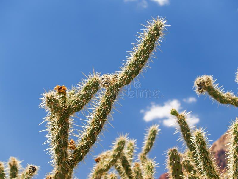 Шиповатая ветвь кактуса рожка рогача против голубого неба стоковое изображение