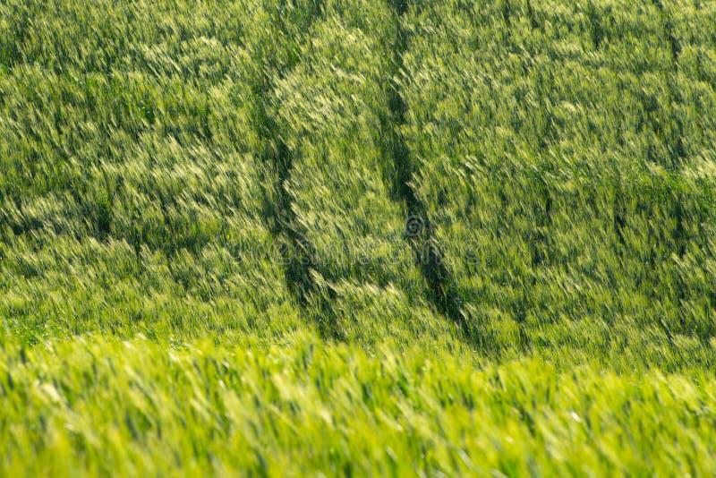Шипы в ветре в пшеничном поле r o Кипарисы, холмы, желтые поля рапса стоковое фото rf