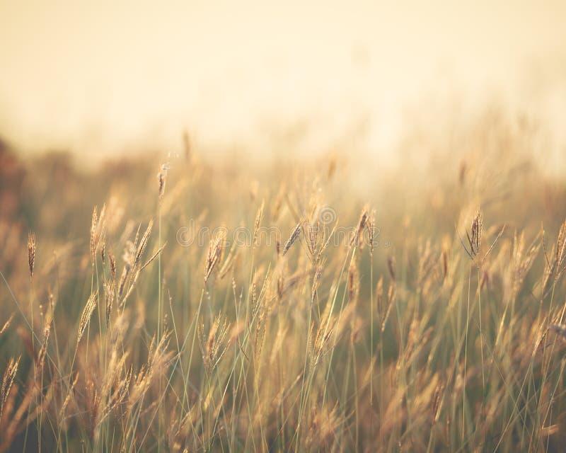 Шипы травы пера в свете захода солнца - (Отмелый фокуса/ стоковые изображения