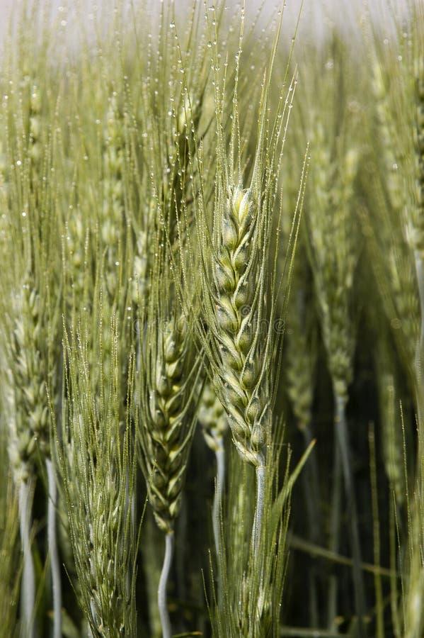 Шип пшеницы стоковое изображение rf
