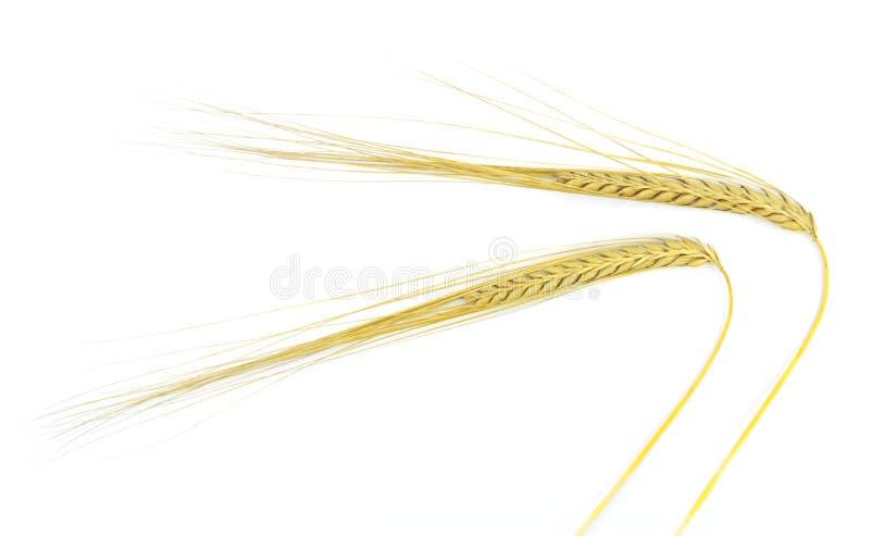 Шип пшеницы стоковые изображения
