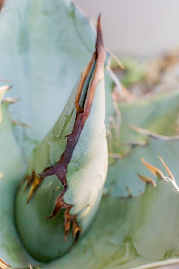 Download Шип стержня ` Rancho Tambor ` Titanota столетника Стоковое Фото - изображение насчитывающей пустыня, фокус: 81812060
