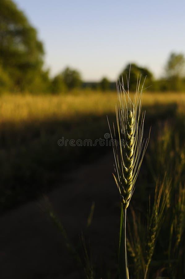 Шип ячменя на поле хлопьев с солнечным лучом и пирофакелом, вертикалью Зеленые яркие солнечные зрелые уши ячменя пшеницы рож на ф стоковое фото