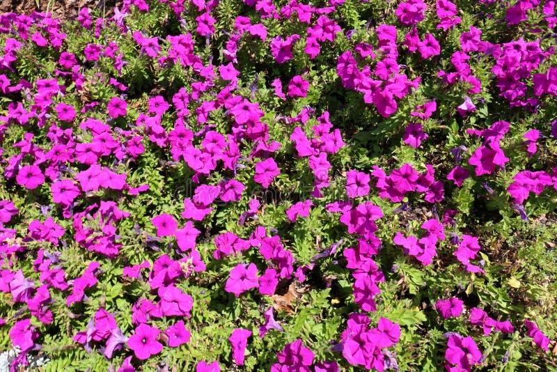 Широкая съемка пурпурных петуний в предпосылке сада стоковые изображения