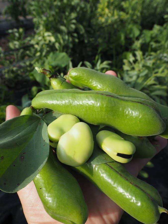Широкая фасоль, hearthy свежие зеленые горохи - изображение стоковое изображение