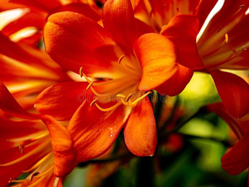 Широкий открытый конец вверх натального цветения лилии стоковое фото