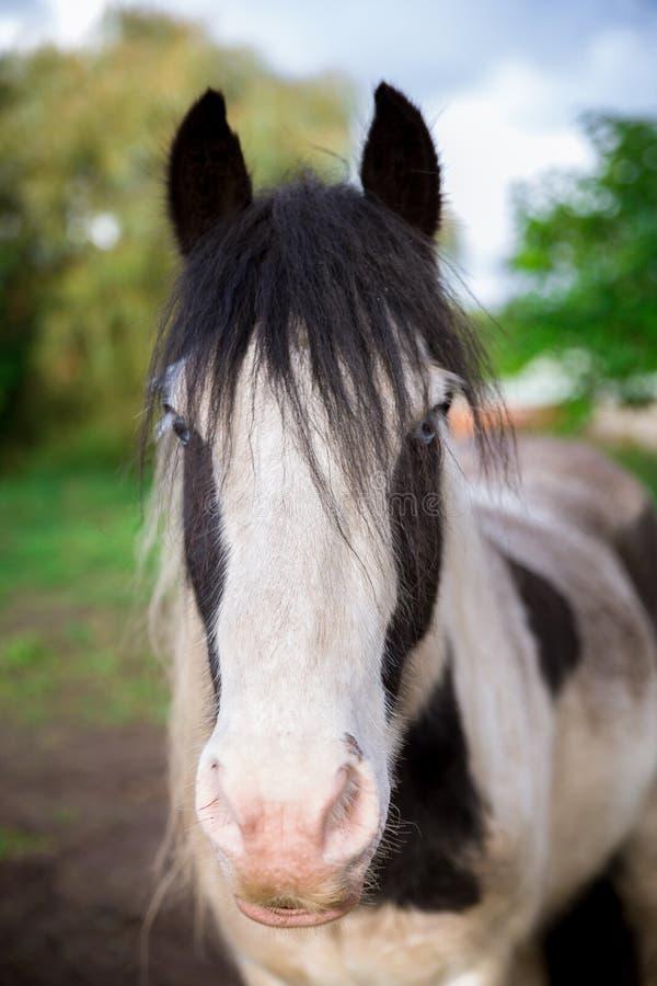 Широкий портрет белой и черной лошади в Суффолке стоковое изображение
